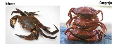 Diferencia entre nécoras y cangrejos